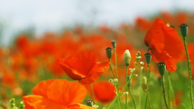 Vivid orange poppies bloom in a meadow.