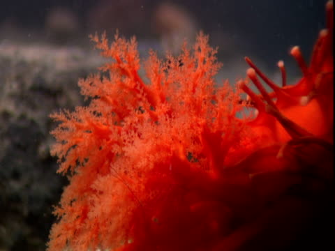 a vivid orange sea cucumber moves its gills. - mollusc stock videos & royalty-free footage