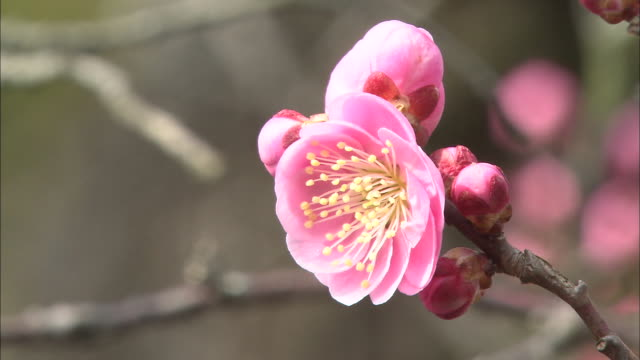 vídeos de stock e filmes b-roll de vivid pink flowers bloom on a japanese plum tree. - estame