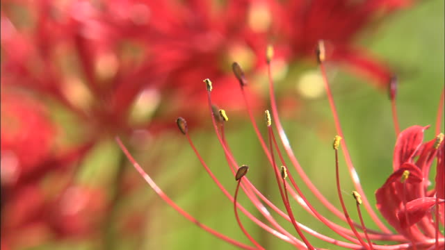 vídeos de stock e filmes b-roll de vivid red spider lilies bloom in a field. - estame