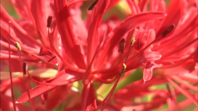 vídeos y material grabado en eventos de stock de a vivid red spider lily blooms. - hymenocallis caribaea