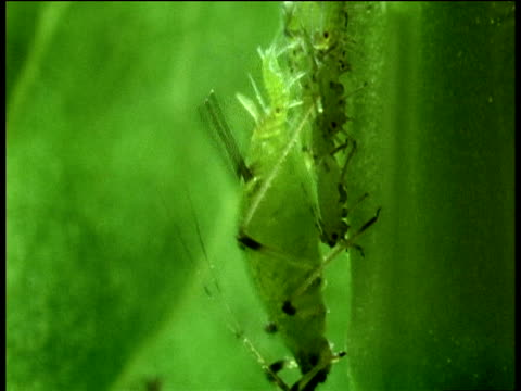 Viviparous Green Aphid Produces Lots Of Live Young Through