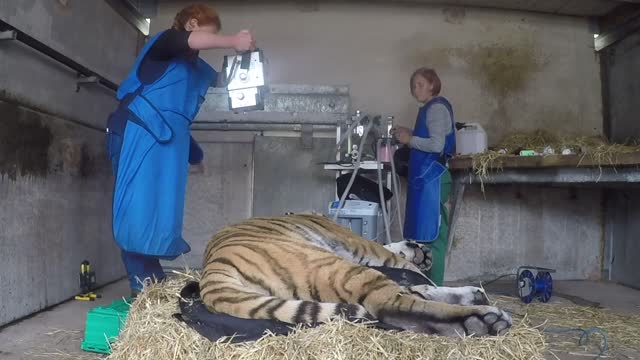 vladimir, an amur tiger at the yorkshire wildlife park, had to undergo an x-ray on his back to check a condition causing a curve in his spine. staff... - curve stock videos & royalty-free footage