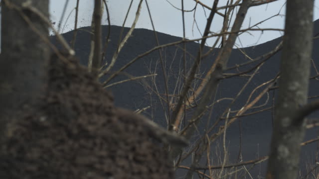 volcano erupting through trees, pull focus to ant hill on tree, nyamuragira, democratic republic of congo, 2011 - 無脊椎動物点の映像素材/bロール