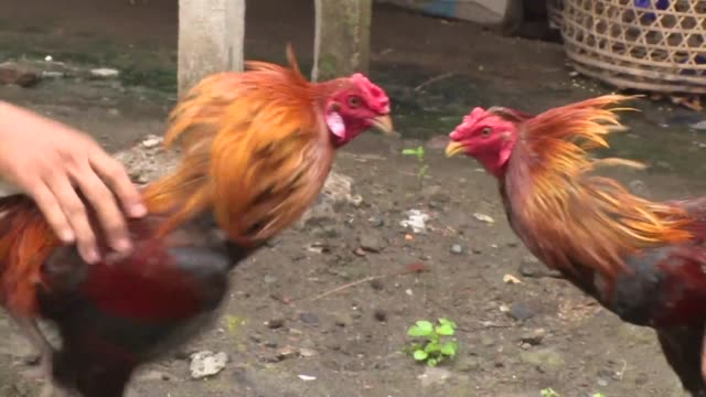 a volcano may be rumbling off in the distance but for a group of balinese men and their fighting roosters it's the roar of the crowd that says the... - comportamento animale video stock e b–roll