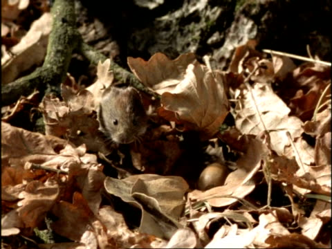 MCU Vole struggling to move acorn across forest floor, UK