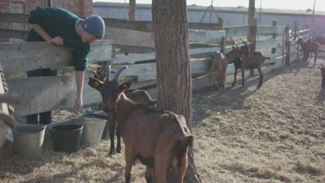 volunteer brings water to goats on the farm - hay bail stock videos & royalty-free footage