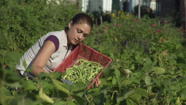 ms volunteer harvesting green beans / chicago, il, united states - グリーンビーンズ点の映像素材/bロール