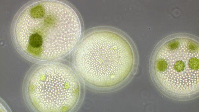 vídeos de stock, filmes e b-roll de volvox colonies - alta magnificação