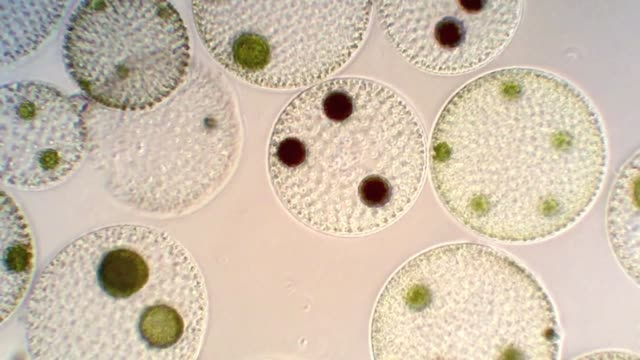 volvox colonies with male and female gametes - volvox video stock e b–roll