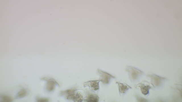 vídeos de stock, filmes e b-roll de vorticella sp. -though often found in clusters, each stalk is individually attached to the surface. - ciliado