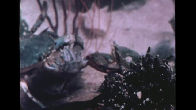 crustacean vs crustacean hd underwater blue vs smaller crab trying to pull dead lobster shell from larger blue crab larger pulling smaller over shell... - lobster stock videos & royalty-free footage