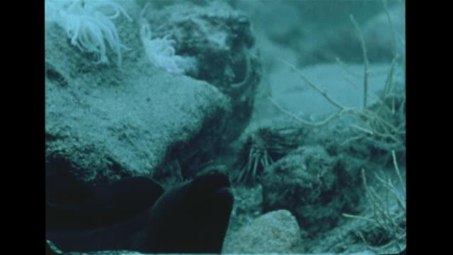 vidéos et rushes de eel vs octopus hd underwater blue octopus on rock w/ dark moray eel lower fg octopus moving backward changing color several times w/ eel stalking eel... - murène