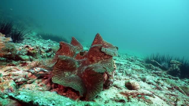 vídeos de stock, filmes e b-roll de espécies vulneráveis giant clam (tridacna gigas) em recife de corais subaquáticos - hermafrodita