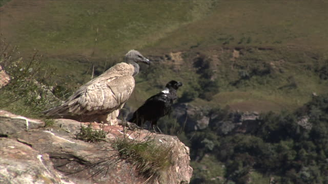 A vulture and a white-necked raven perch on a mountainside. Available in HD