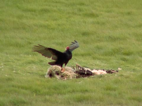 vulture and sheep carcass - bird of prey stock videos & royalty-free footage