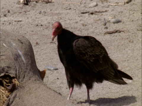 a vulture examines a carcass on a beach. - vulture stock videos & royalty-free footage