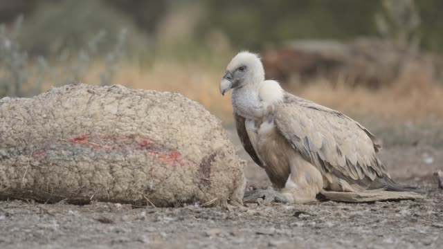 vulture feeding - animal wing stock videos & royalty-free footage