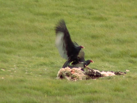 vulture fight - vulture stock videos & royalty-free footage