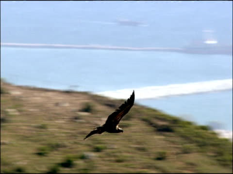 vulture flying over rocks and bay of gib, autumn, tarifa, andalusia, southern spain - gespreizte flügel stock-videos und b-roll-filmmaterial