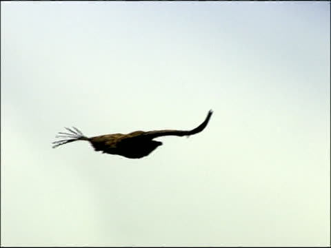 vulture in flight, autumn, tarifa, andalusia, southern spain - vulture stock videos & royalty-free footage