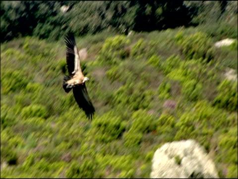 vulture in flight over vegetation, autumn, tarifa, andalusia, southern spain - gespreizte flügel stock-videos und b-roll-filmmaterial