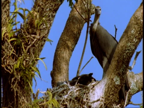 ms vulture in fork of tree near nest, bandhavgarh national park, india - national icon stock videos & royalty-free footage