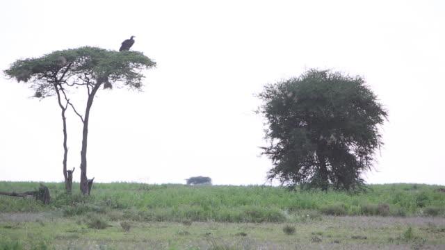 vídeos y material grabado en eventos de stock de vulture in tree 2 - wiese