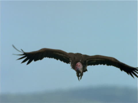 a vulture lands in a grassy field. - vulture stock videos & royalty-free footage