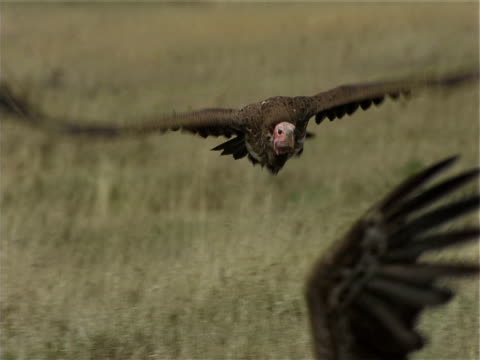 a vulture lands near other vultures in a grassy field. - vulture stock videos & royalty-free footage