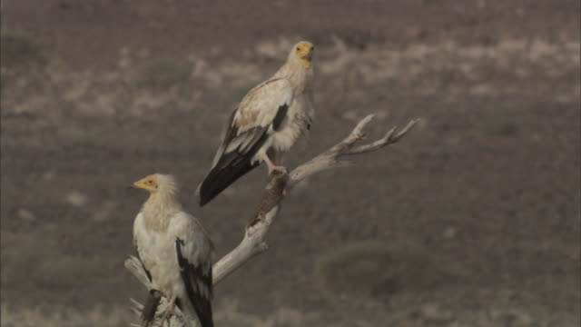 a vulture on a tree branch stretches its wings near another vulture in djibouti. - gliedmaßen körperteile stock-videos und b-roll-filmmaterial