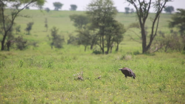 vulture on ground, walking - wiese stock videos & royalty-free footage