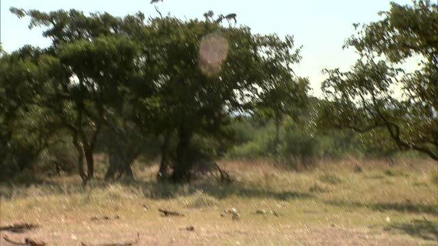 vulture on tree and carcasses - 熱帯の木点の映像素材/bロール