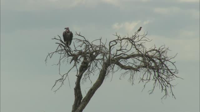 ms, la, vulture perching motionless on top of bare tree, masai mara national reserve, kenya, africa - bare tree bildbanksvideor och videomaterial från bakom kulisserna