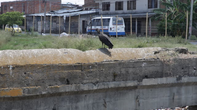 vulture standing on a concrete wall with green surrounding, while driving cars and motorcycles can be seen in the back. - surrounding wall点の映像素材/bロール