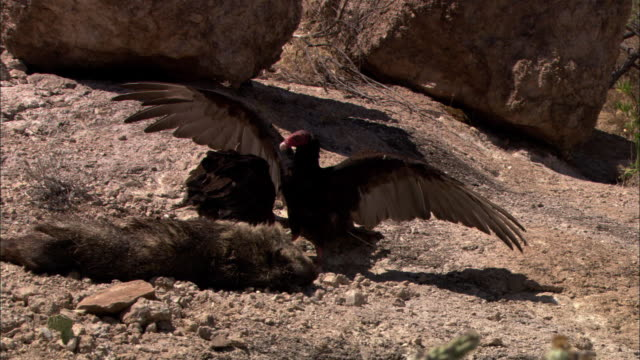 a vulture stands over a carcass with its wings spread. - dead animal stock videos and b-roll footage