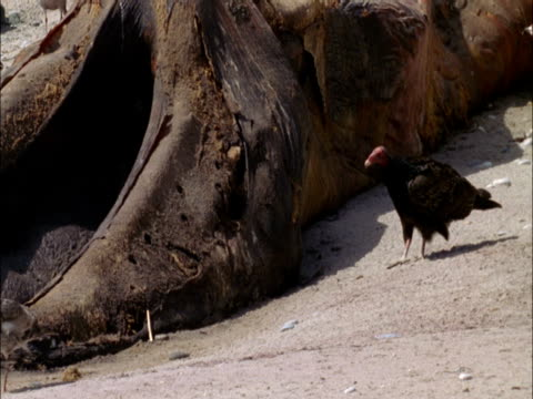 a vulture struts through the sand to the tail of a rotting elephant seal carcass. - elephant seal stock videos & royalty-free footage