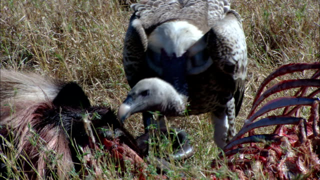 a vulture tears at a carcass. - vulture stock videos & royalty-free footage