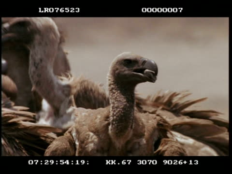 cu vultures during feeding frenzy - vulture stock videos & royalty-free footage