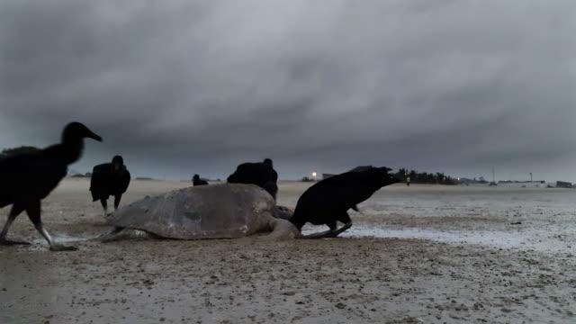 vídeos y material grabado en eventos de stock de buitres comer una tortuga de mar en montañita ecuador - dead animal