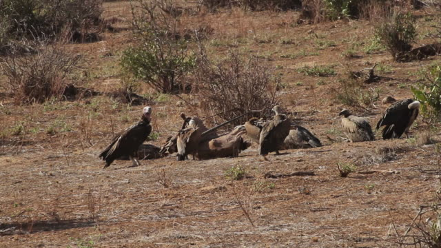 vultures eating an orix caracas - medium group of animals stock videos & royalty-free footage