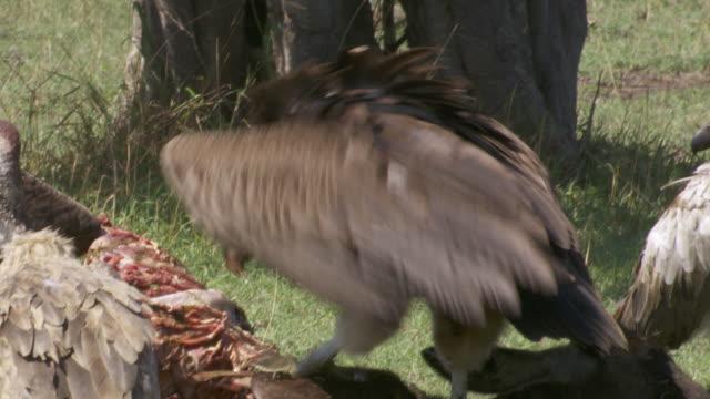 cu zi zo vultures eating dead animal / tanzania - gruppo medio di animali video stock e b–roll