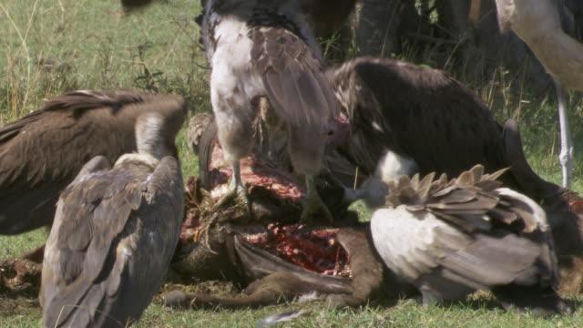 cu vultures eating dead animal / tanzania - gruppo medio di animali video stock e b–roll