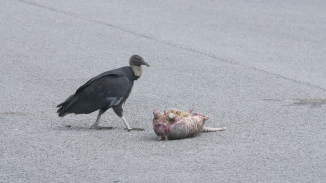 Vultures eating dead pangolin
