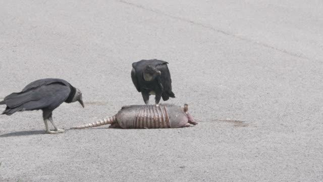 vultures eating dead pangolin - pangolino video stock e b–roll