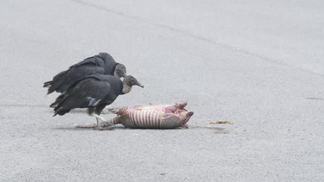 Vultures eating dead pangolin