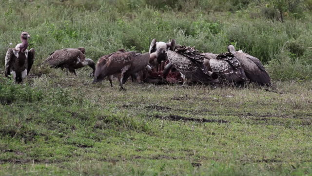 vultures eating the carcass of a wildebeest - medium group of animals stock videos & royalty-free footage
