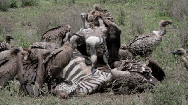 vultures eating zebra carcass - vulture stock videos & royalty-free footage