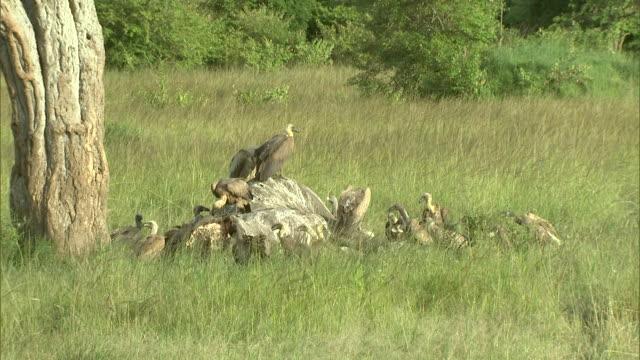 vídeos y material grabado en eventos de stock de vultures feed on an elephant carcass in africa. - hurgar en la basura