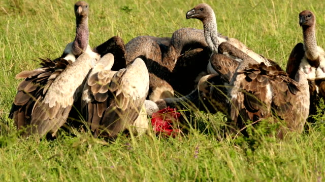 vultures feeding on a baby topi antelope in masai mara - aggression stock videos & royalty-free footage